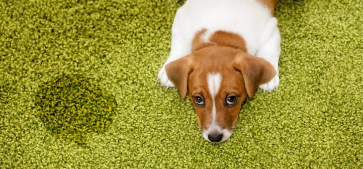 How to use Artificial Grass when Housetraining.